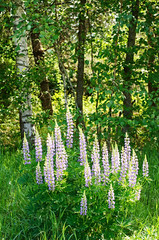 Wild lupines growing in Black Forest