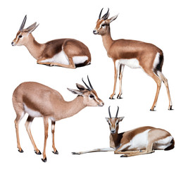 Set of dorcas gazelles.  Isolated on white