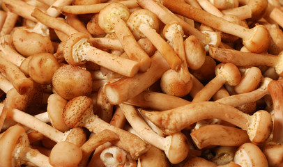honey agaric mushrooms harvest