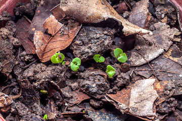 Sprout of sweet basil