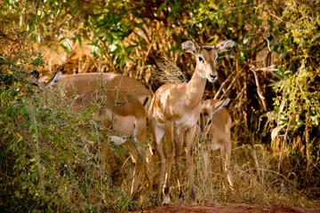 Kenia safarii
