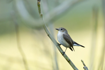 Asian brown flycatcher bird in Nepal