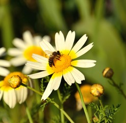 Bee collecting pollen on wild daisy