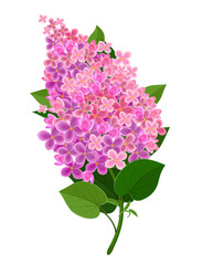 Lilac flower isolated