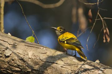 Black-hooded oriole immature in Nepal