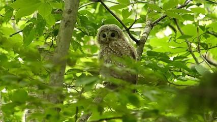 可愛い顔のフクロウ.-151:北海道・日本