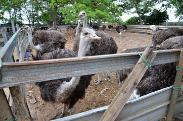 Group of ostriches on a farm with green surrounding