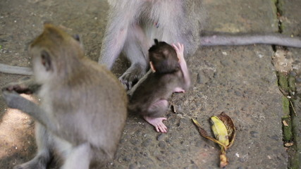 Macaque monkeys in reservation