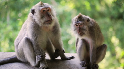 Macaque monkeys sitting in park