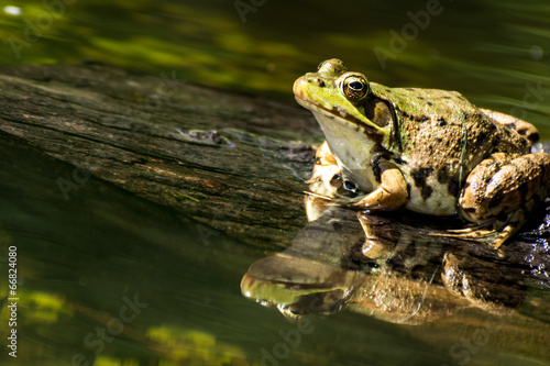 Poster Kikker Green Frog