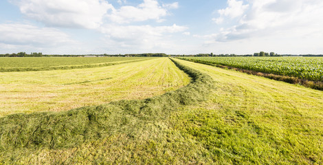 Curved windrow of harvested grass