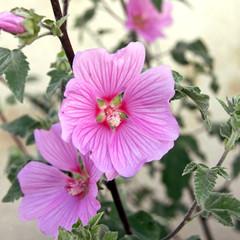 rosa stockrosenblüten
