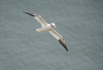 Gannet seabird in flight