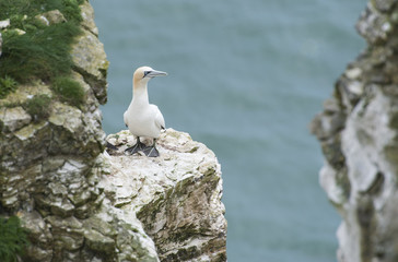 Nesting gannet on a cliff headland