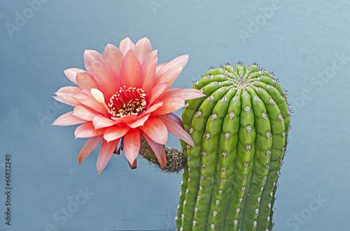 Canvas Cactus Flowering cactus