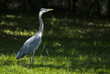 canvas print picture - Gray heron