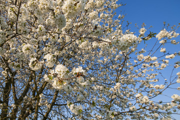 cherrytree blooming