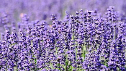 Lavender in summer time