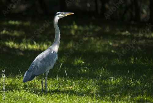 canvas print picture Gray heron