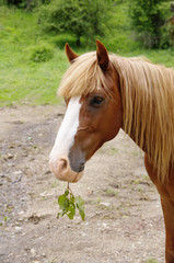 Portrait of brown horse with twig