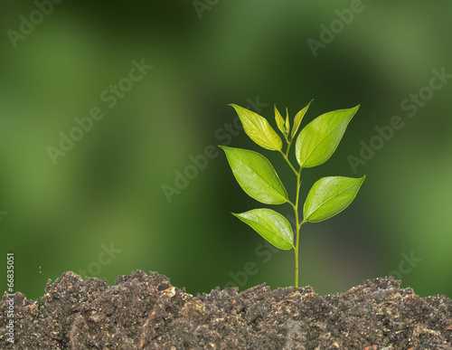 canvas print picture Sapling
