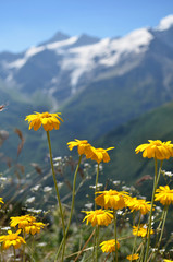 Yellow flowers with snowbound rocky mountains in background