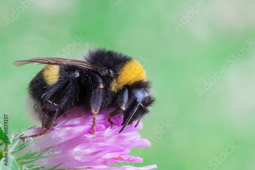 Foto op Plexiglas Bee Bombus terrestris