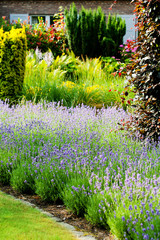 Row of lavender flowers blooming in a garden