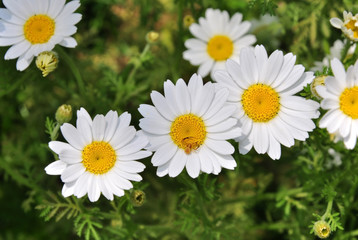 Feverfew, is pretty widespread composite