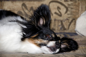 Resting papillon watching his human