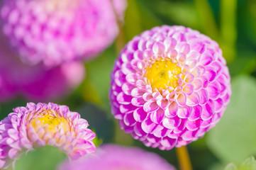 Violette Pompon-Dahlie, Dahlia, Grußkarte, Spätsommer