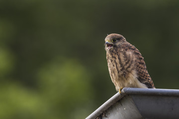 Juvenile Kestrel in a roof gutter