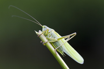 Great Green Bush-Cricket closeup