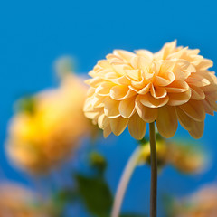 Gelbe Dahlien, Spätsommer, blauer Sommerhimmel