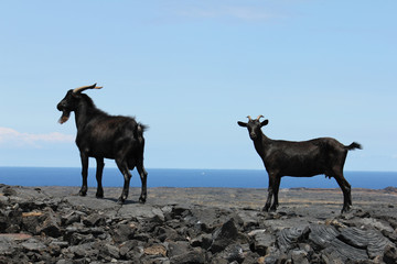 Goats, male and female