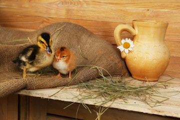 Little cute duckling and chicken in barn