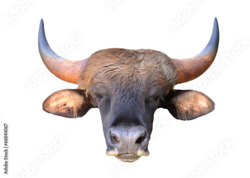 Deurstickers Bison gaur head isolated