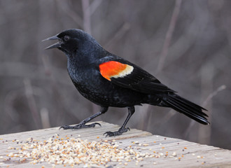 A male Red-winged Blackbird (Agelaius phoeniceus)