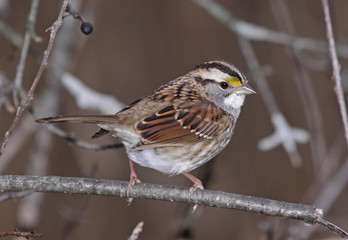 White-throated Sparrow Pose
