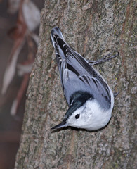 Posing White-breasted Nuthatch