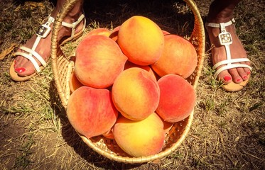 u-picking peaches
