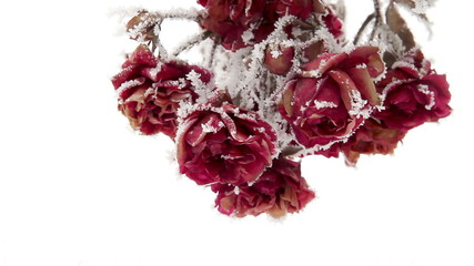 Roses in Hoarfrost