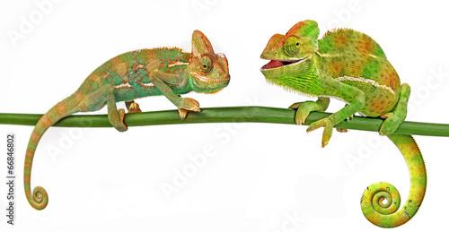 Fototapeta Chameleons