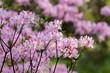pink rhododendron in spring garden