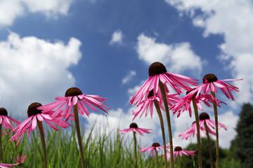 Blauer Himmel mit purpur Blüten.