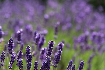 Lavendelwiese in Blüte.