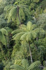 rainforest with tree ferns