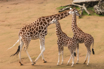 female giraffe with calves