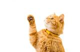 Fototapety ginger cat isolated