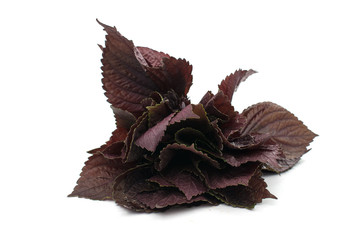 purple basil isolated